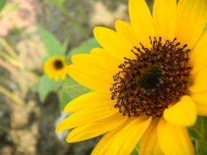 ひまわり開花