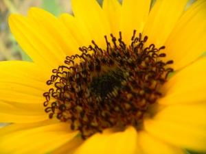 ひまわり開花1